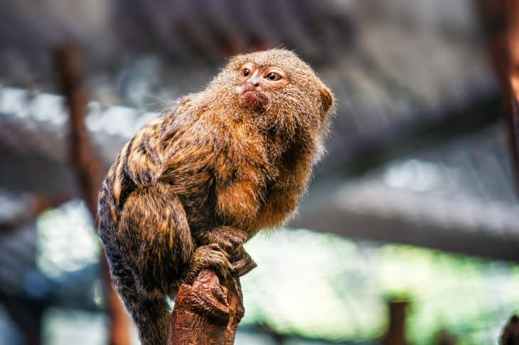 pygmy marmoset, finger monkey