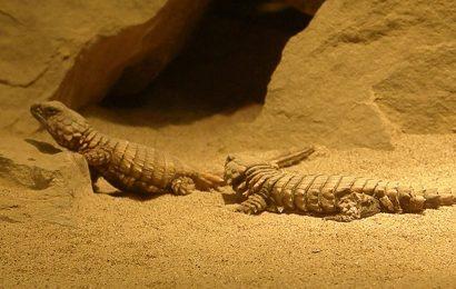Armadillo Lizard, Armadillo Lizards