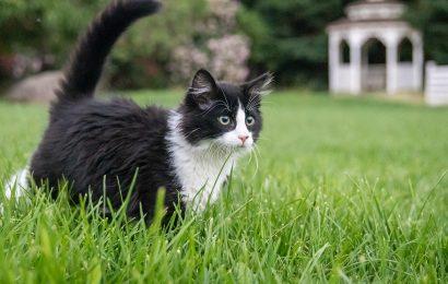 Tuxedo Cat, Tuxedo Cat in the Grass