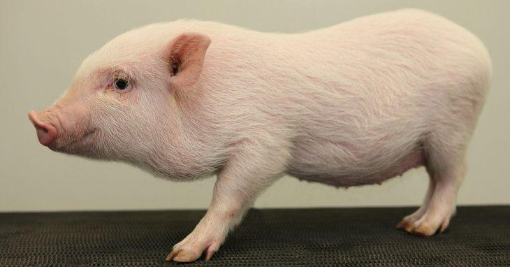 Teacup Pig, minipig