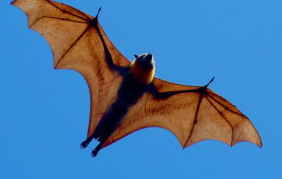 Flying Fox, Fruit Bat, Giant Golden-Crowned Flying Fox Facts, Largest Bat In The World