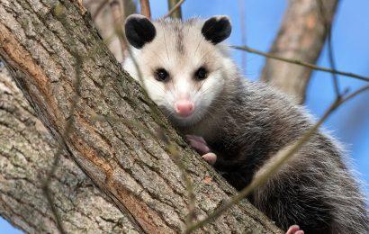 Opossum Facts, Opossum, Opossum Climbing, Virginia Opossum