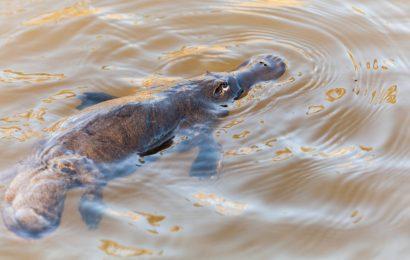 Platypus, Wild Platypus, Platypus Facts