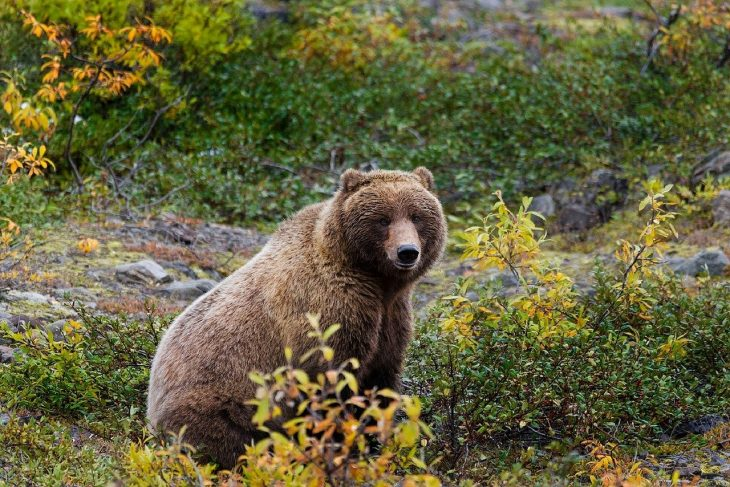 grizzly bear facts, wildlife