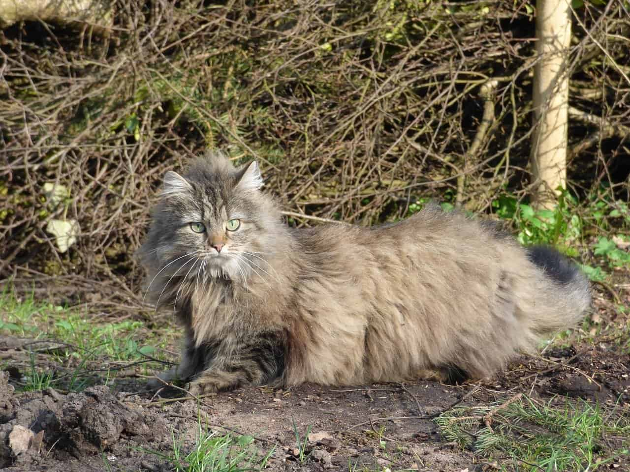 norwegain forest cat facts