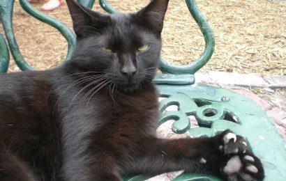 hemingway cat facts