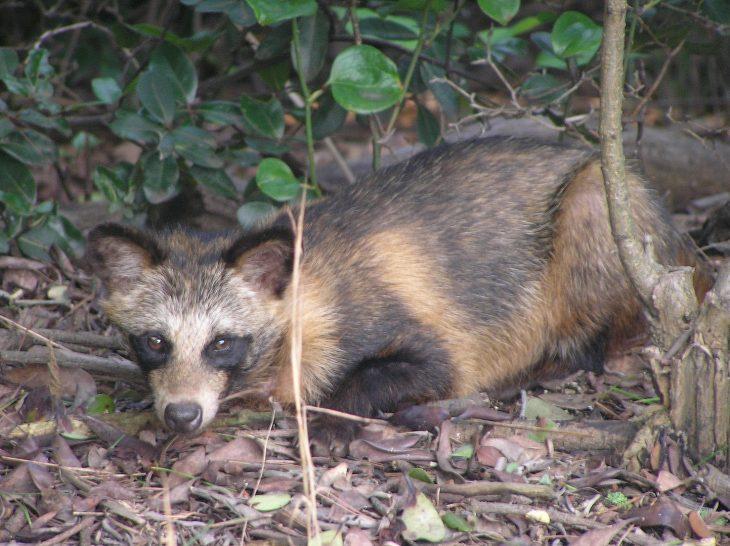 Raccoon Dog, Raccoon Dog in Japan