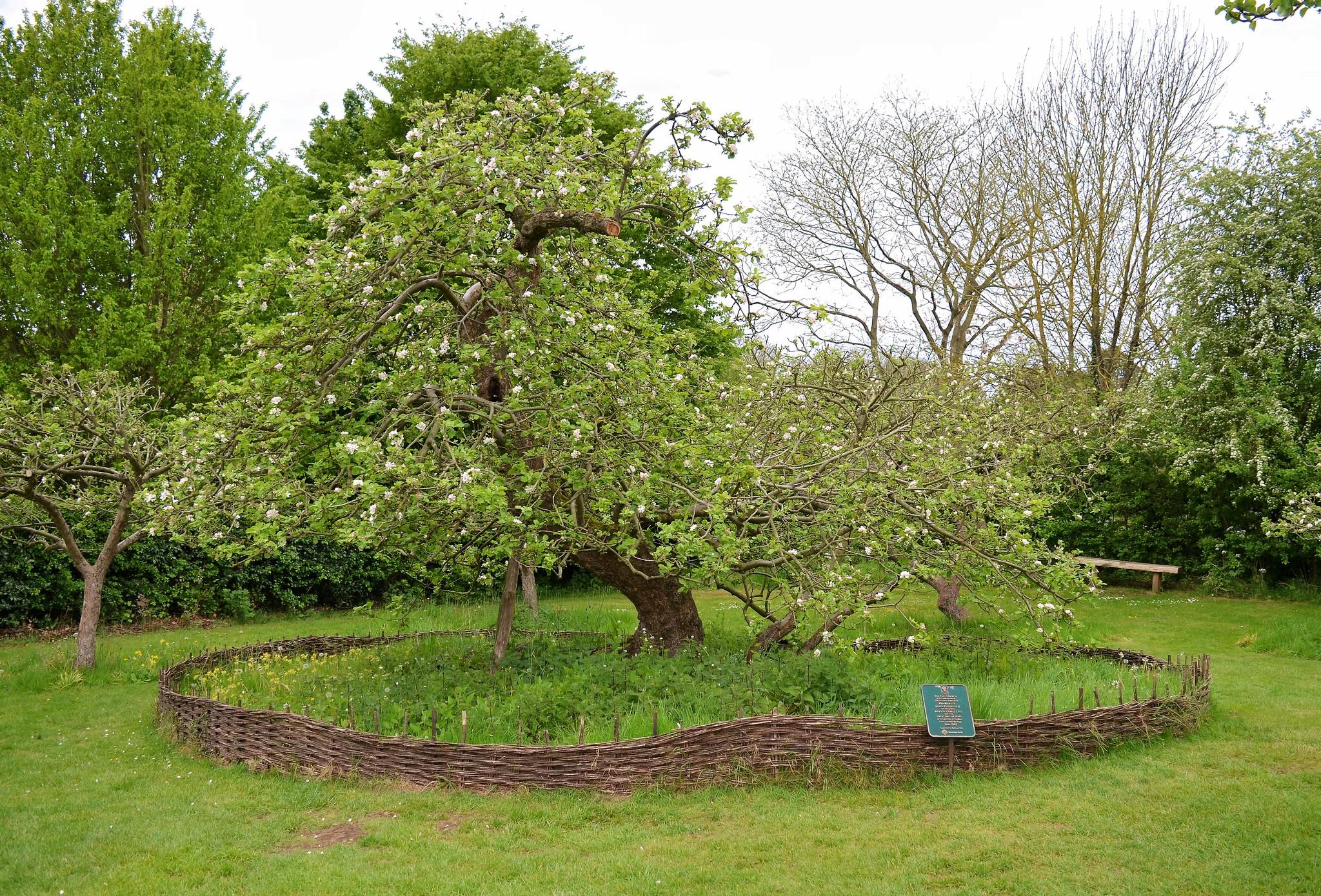 Isaac Newton Apple Tree, Woolsthorpe Manor