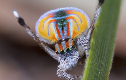 peacock spider, peacock spider facts