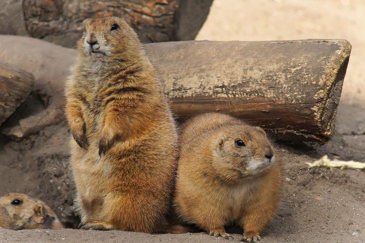 Prairie Dog Facts, Prairie Dog Pictures, Prairie Dog, Prairie Dogs