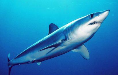 Shortfin Mako Shark, Mako Shark Facts, Isurus, Fastest Shark