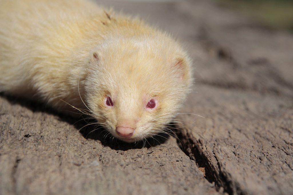 albino, color red