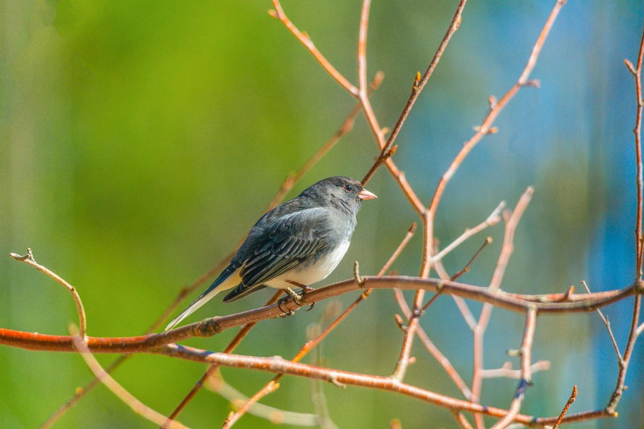 northern mockingbird, branch, bird