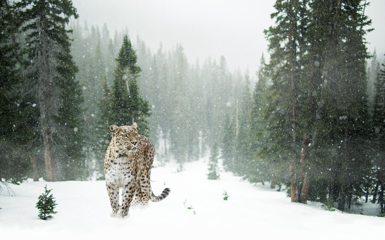 snow leopard, snow, snow leopard facts
