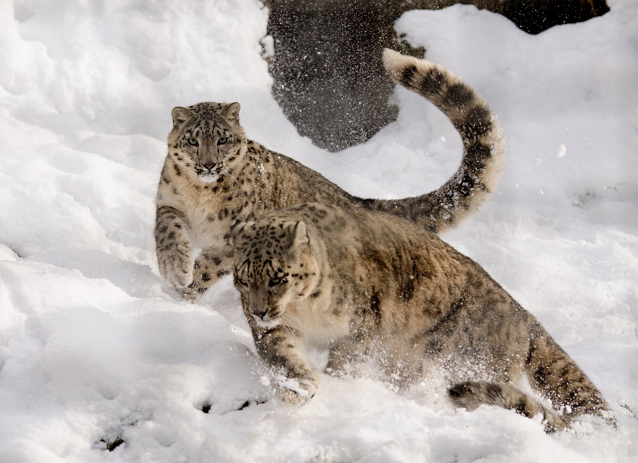 snow leopard, playing