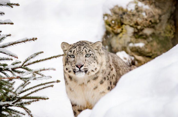snow leopard facts, big cat, snow