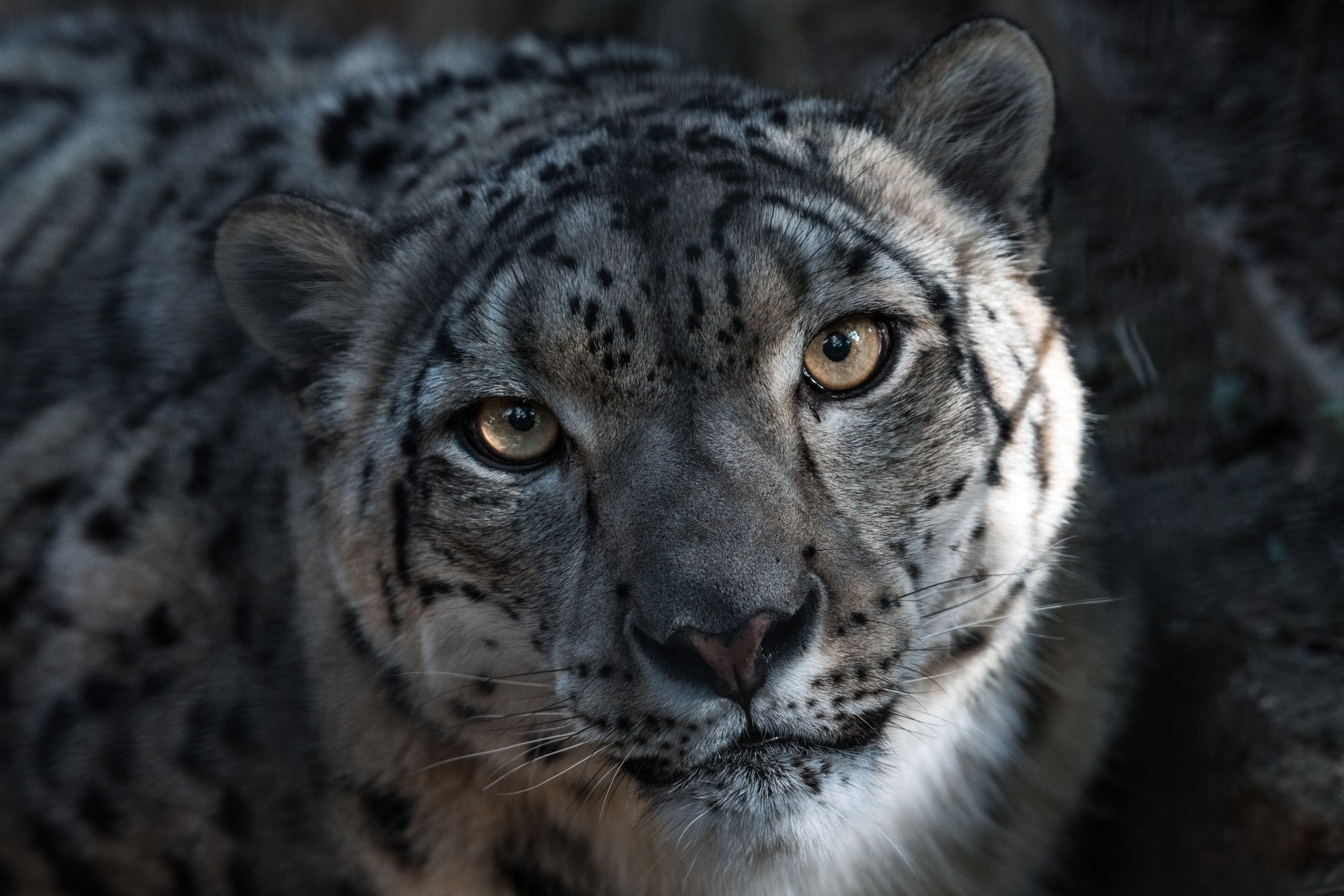 snow leopard facts, eyes