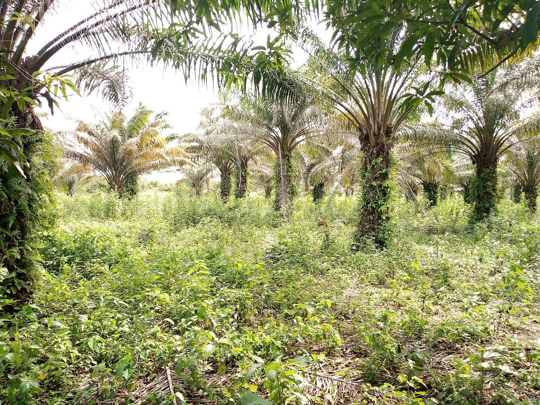 Palm Oil Facts, Benin Palm Grove