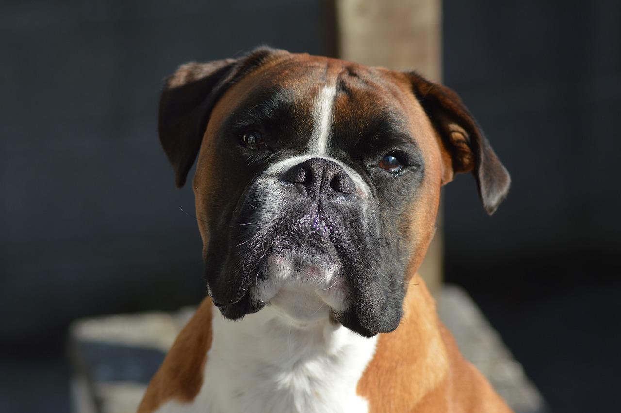 boxer, guard dog