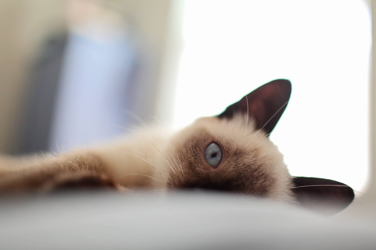 Facts About The Siamese Cat
