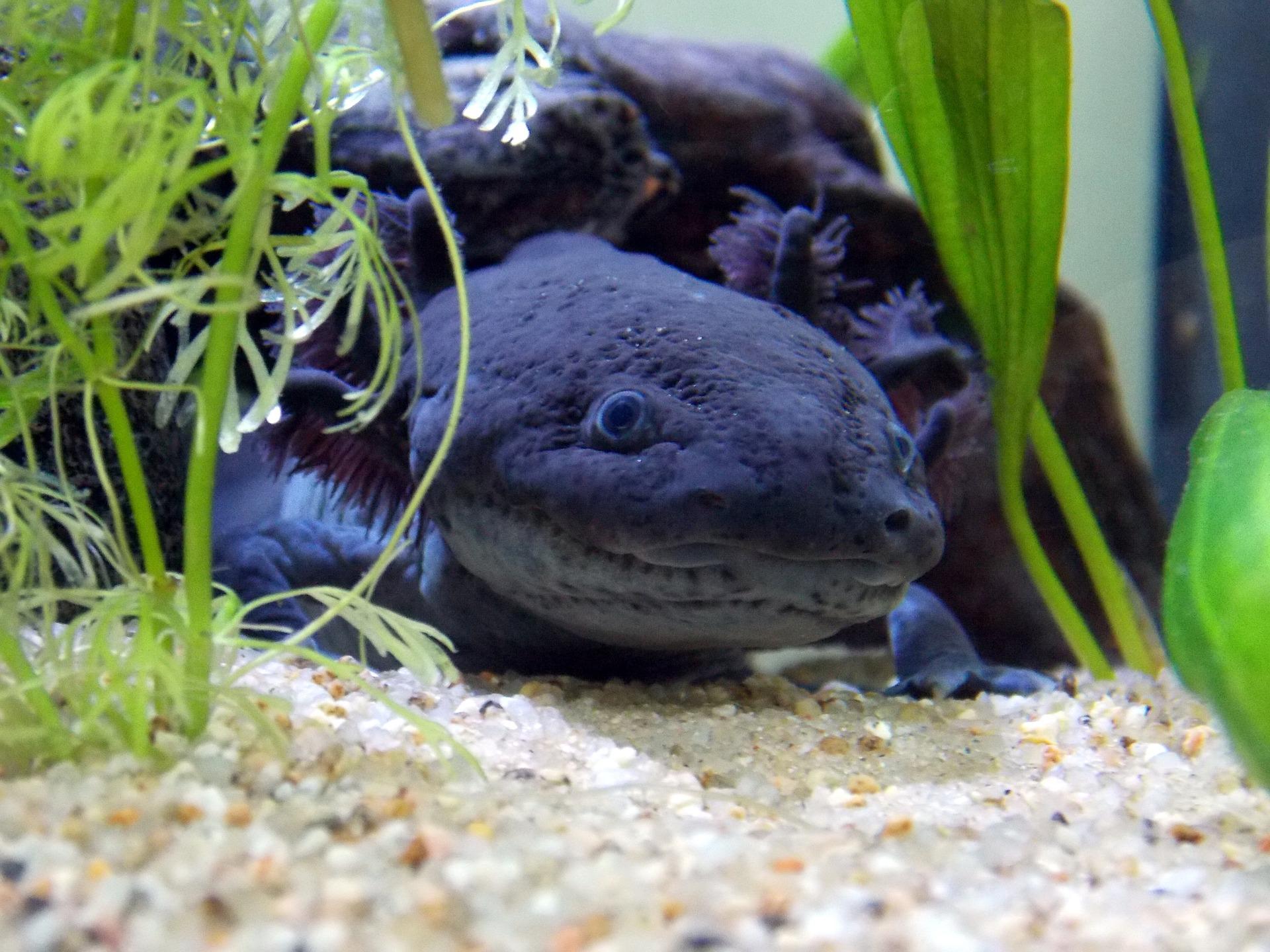 Black Axolotl, Wild Type Axolotl