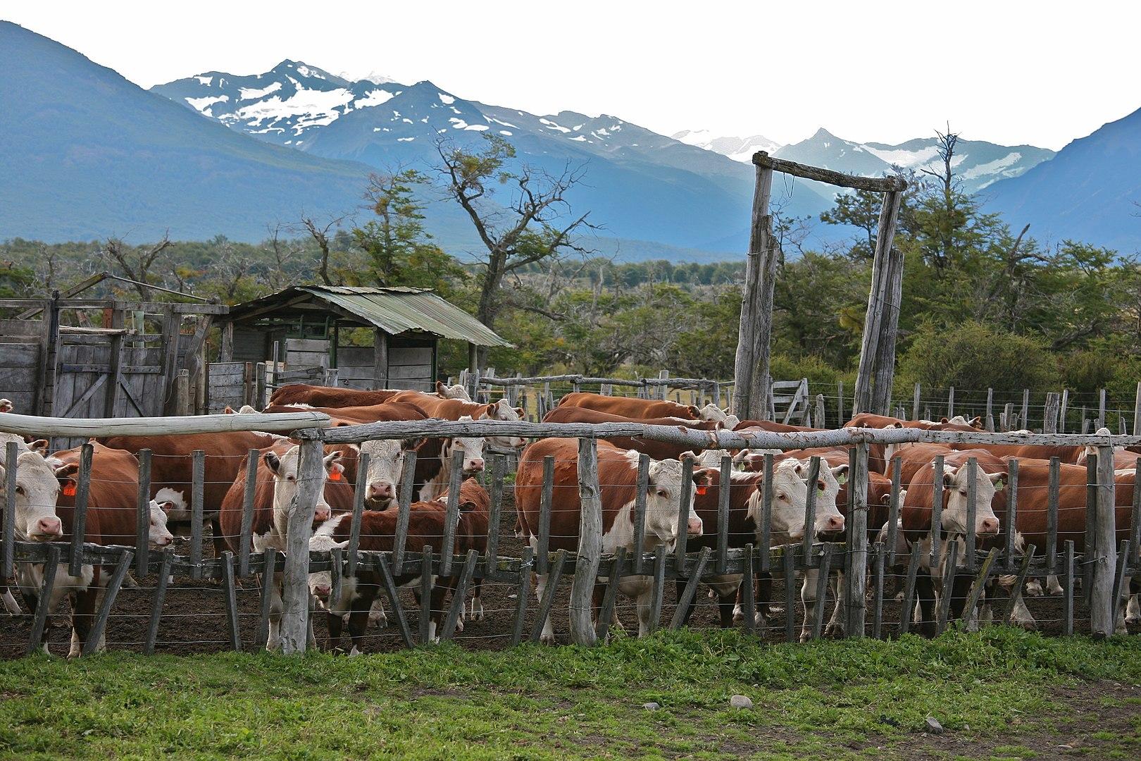 Rainforest Facts, Cattle Ranch