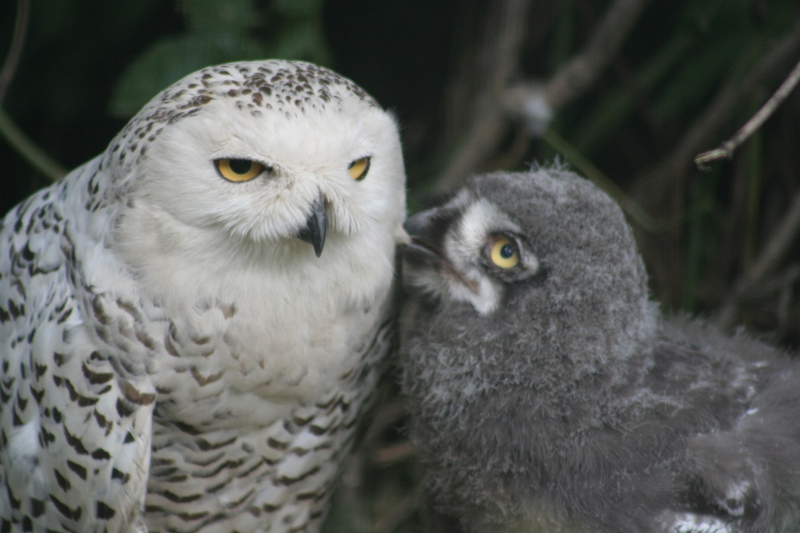 Snowy Owl Facts, Female and Chick