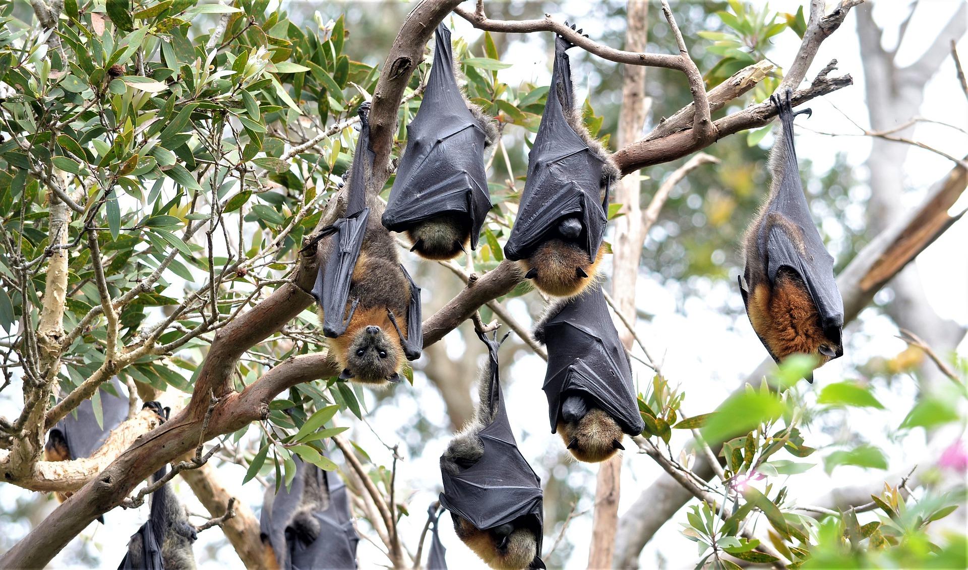 Fruit Bat Colony, Fruit Bat Roost, Megabat Colony