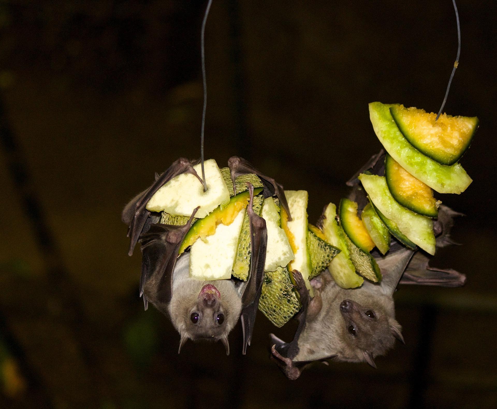 Fruit Bat Feeding, Fruit Bat Diet, Megabat Diet