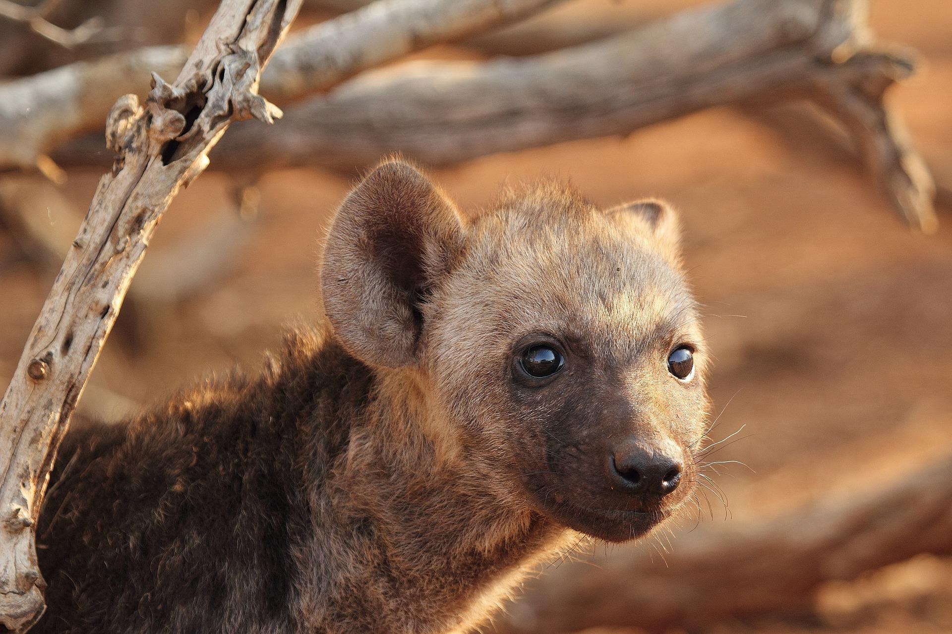 Baby Hyena, Hyena Cub