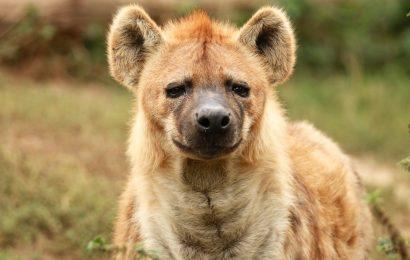 Hyena Facts, Laughing Hyena, Spotted Hyena