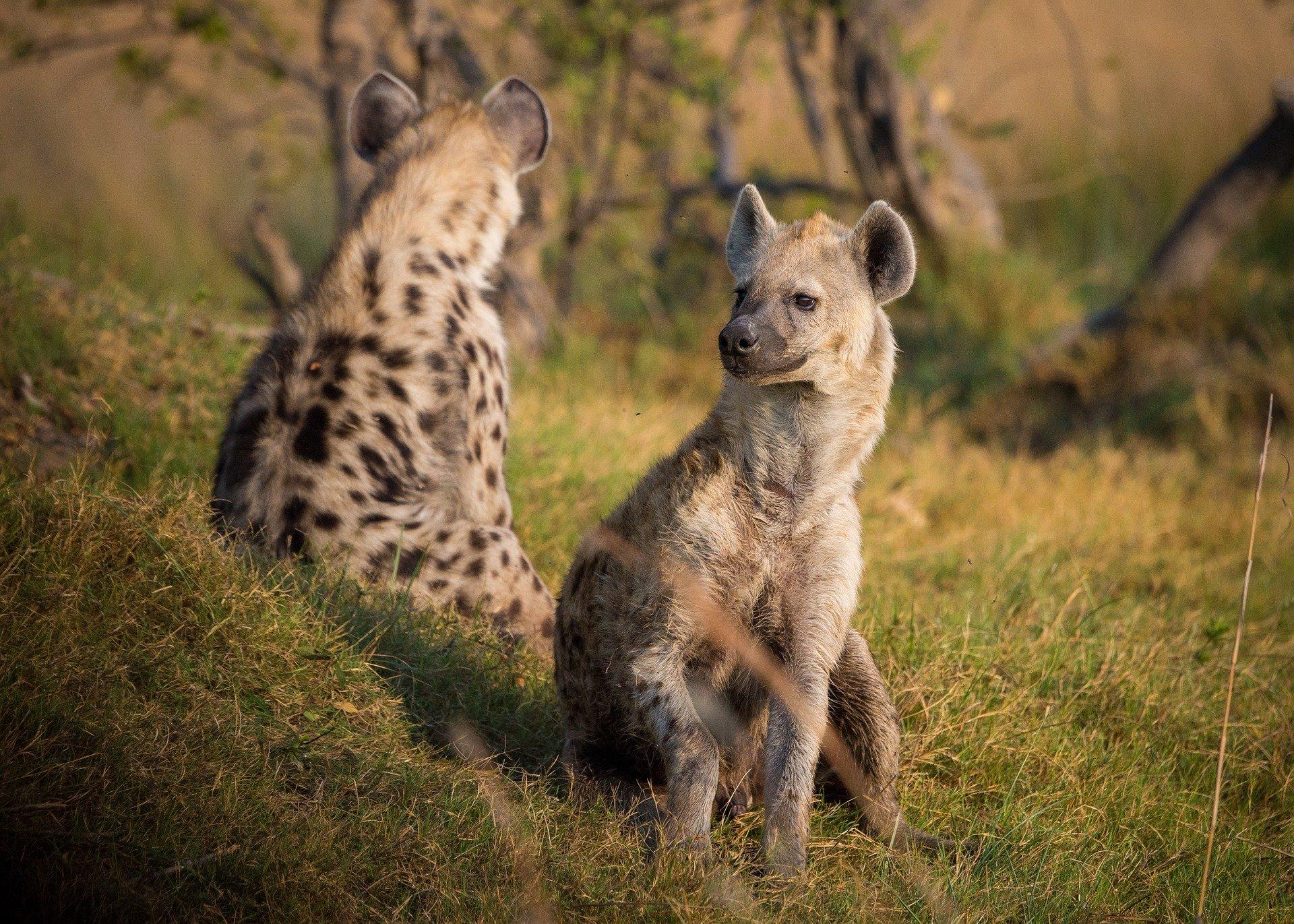 Hyena Pair, Hyena Clan, Hyena Social Group