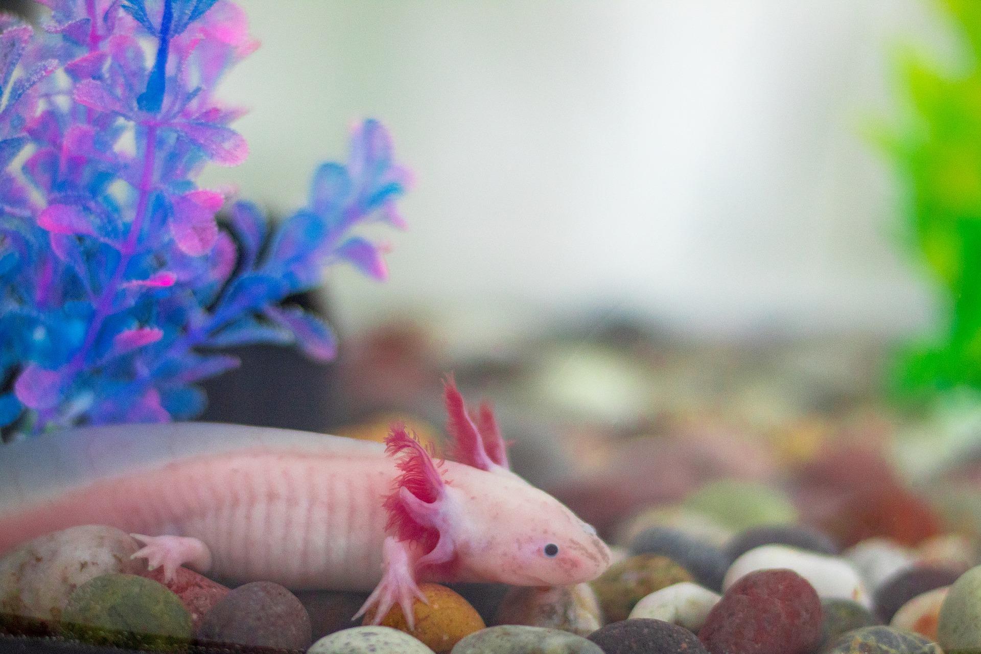 Leucistic Axolotl, White Axolotl