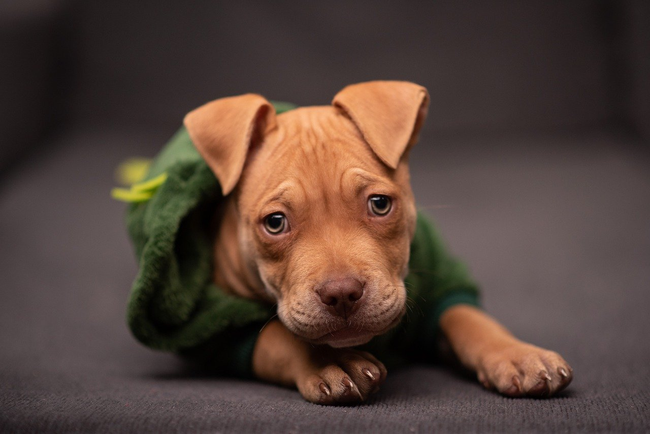 Pitbull Facts, Pitbull Puppy