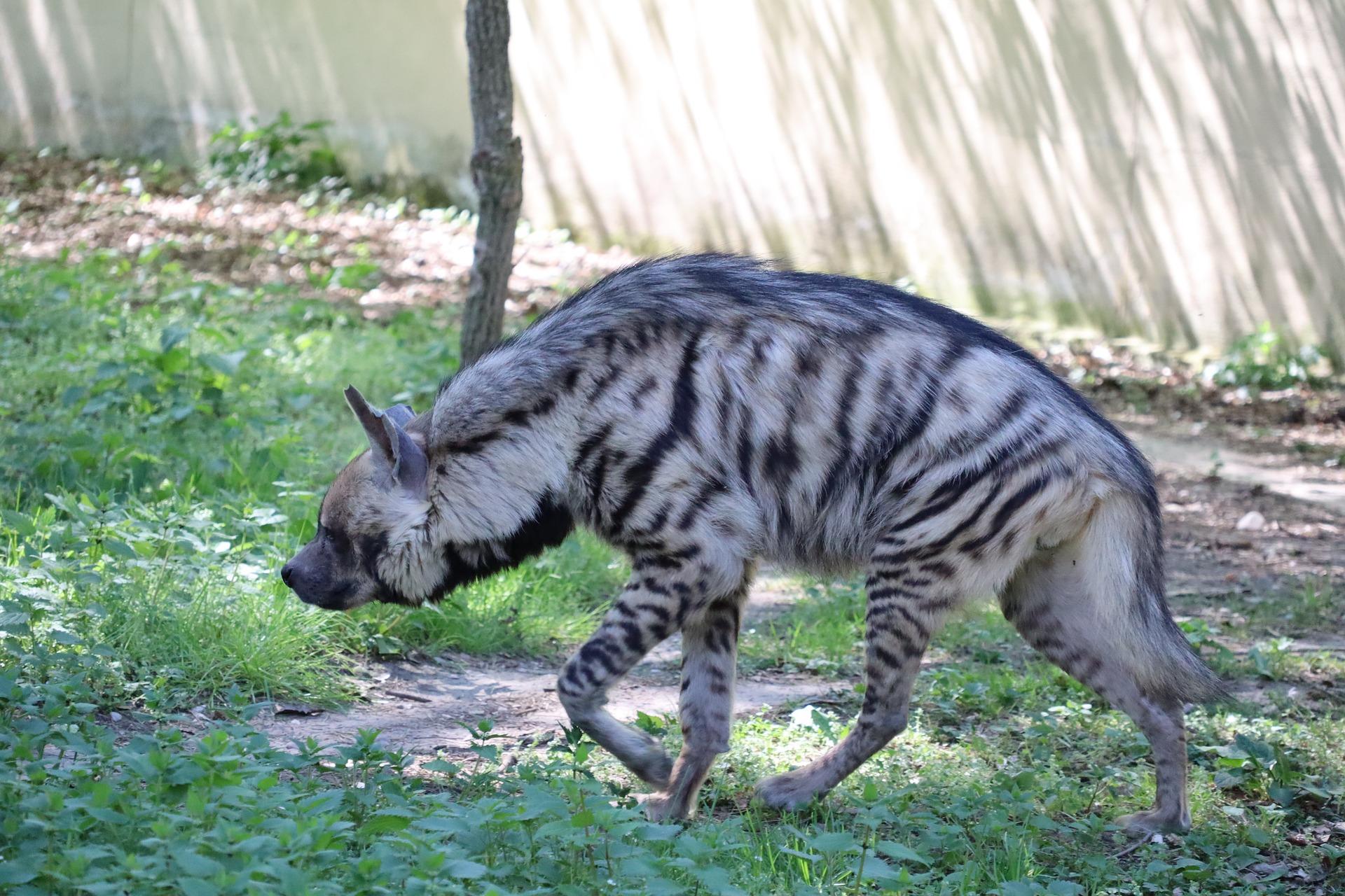 Striped Hyena, Hyaena hyaena