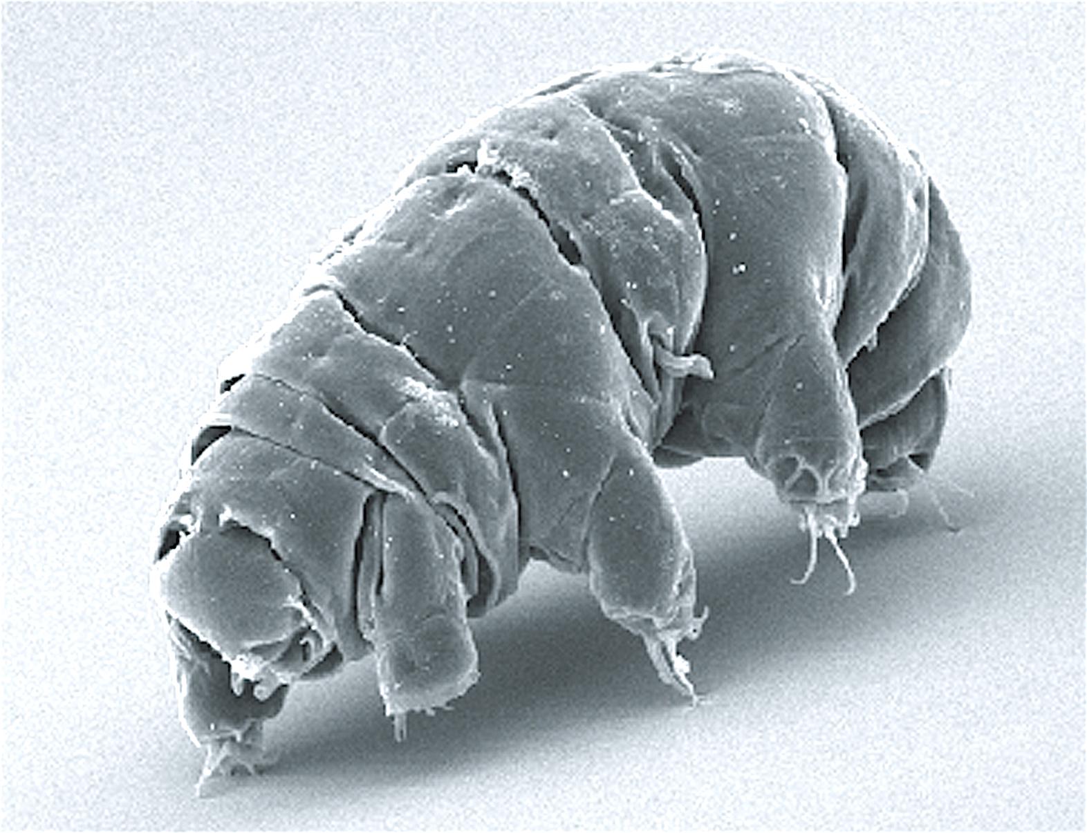 Tardigrade Under Electron Microscope, Milnesum tardigradum, Water Bear Under Electron Microscope