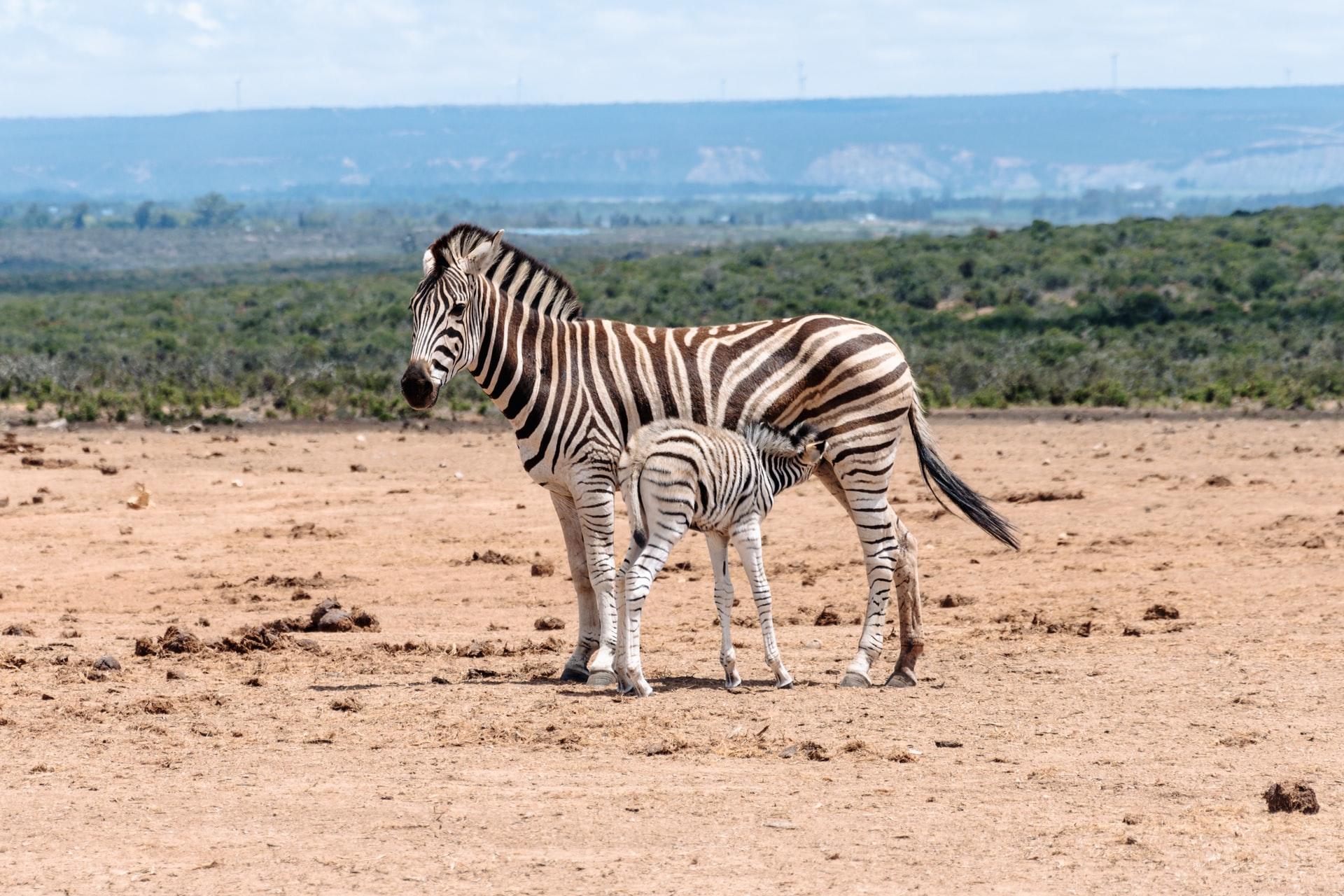 foal, zebra facts