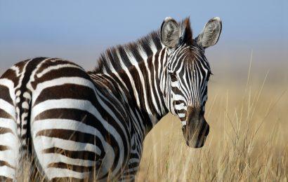 zebra, zebra facts