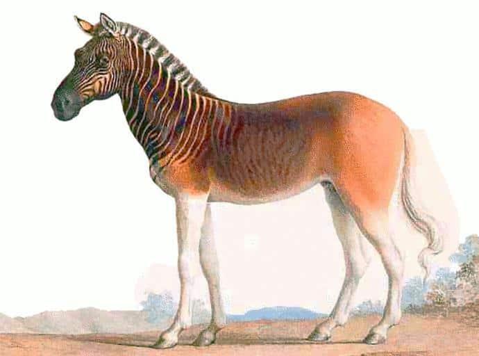 quagga, zebra facts