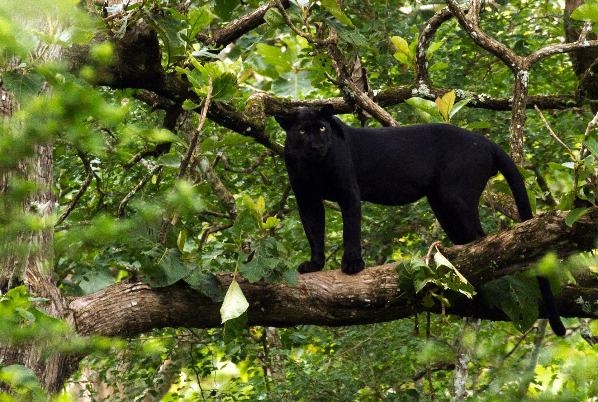 Black Panther, Black Leopard, Melanistic Leopard