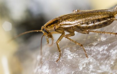 Cockroach, Cockroach Facts