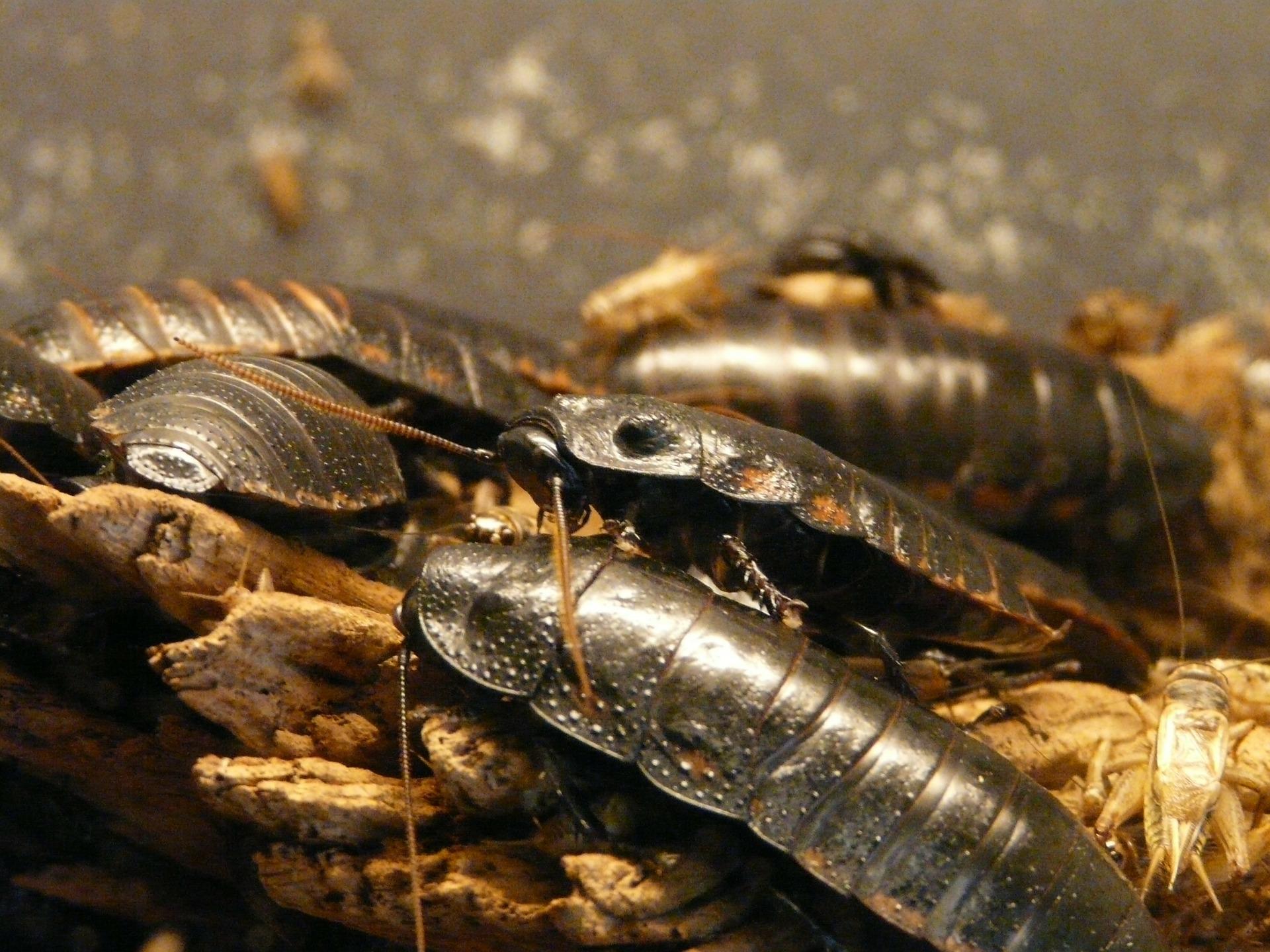 Cockroach Colony, Social Cockroaches