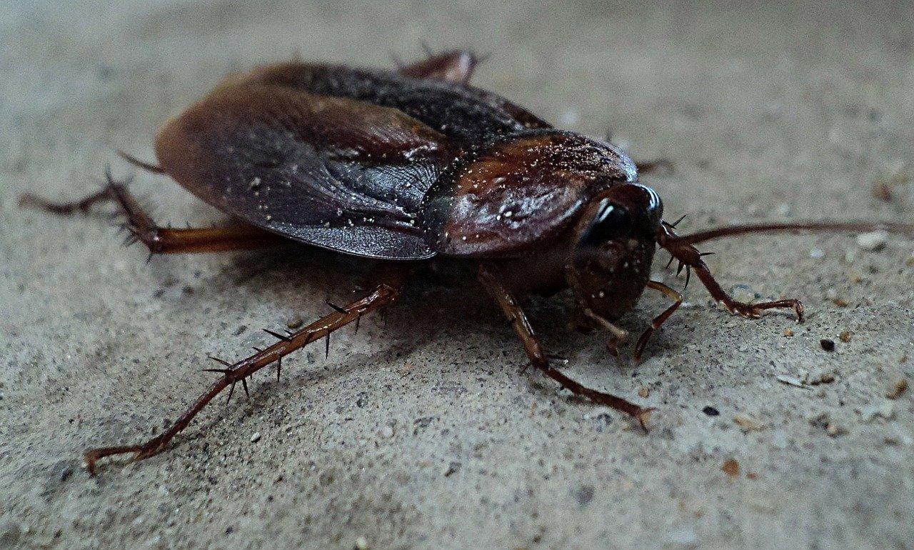 Cockroach Pest