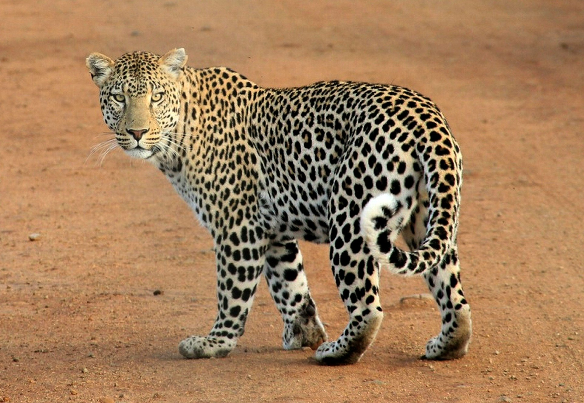 Leopard, Leopard Standing, Panther