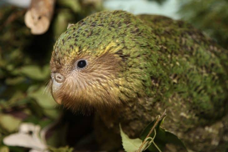 young kakapo