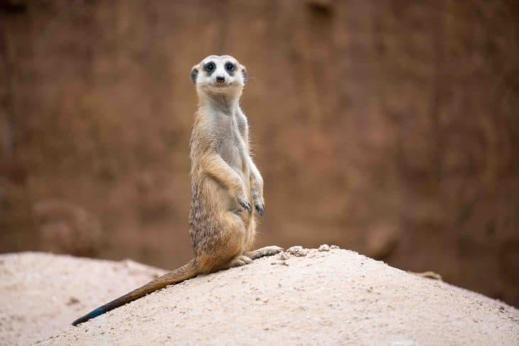 meerkat, meerkat facts