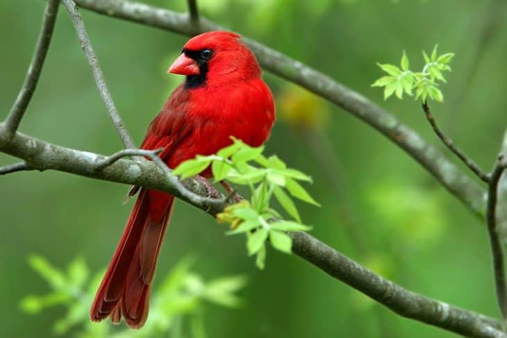 cardinal bird, cardinal bird facts