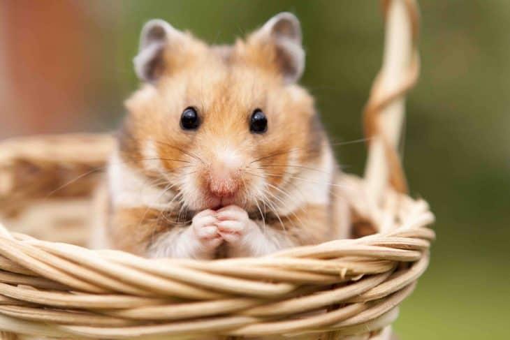 cute hamster in a basket